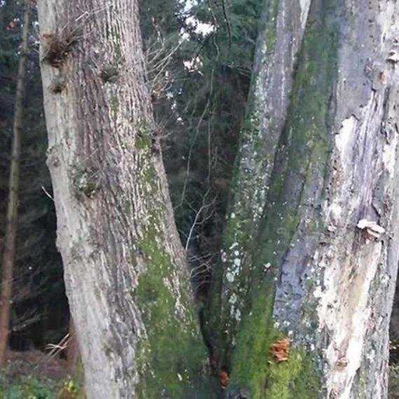 La forêt des grands arbres
